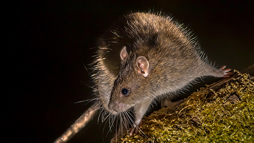 Control De Plagas desratización ratones