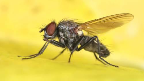 Desinsectacion de moscas